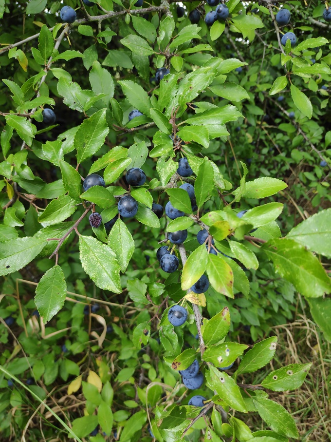 Sloe tree with sloes on branches.