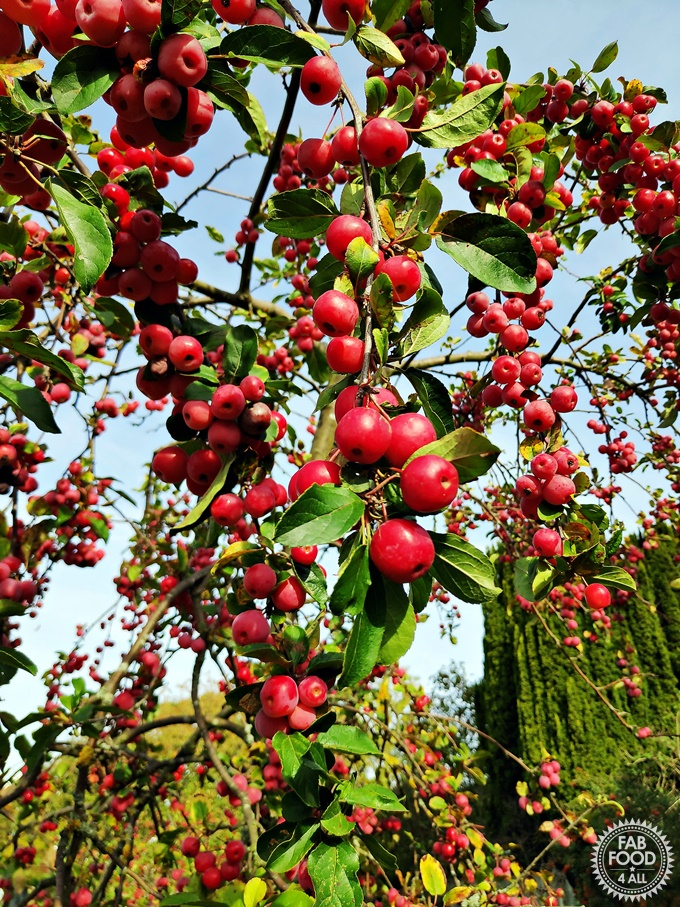 Crab apple tree branches with red crab apples.
